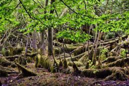 Mangrovenähnliche Wurzelstelzen mit Moos- und Algenbewuchs - NSG Altarm der Schwentine