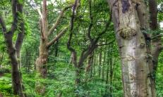 Altbaumbestand - NSG Altarm der Schwentine