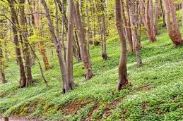 Blütenteppich aus Buschwindröschen (Anemone nemorosa) am Hangwald - NSG Altarm der Schwentine